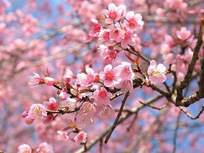 UK_cherry-tree-blossom-spring.jpg