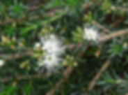Kunzea-ambigua-Australian-native-bush-food
