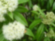 lemon-myrtle-Australian-bush-food