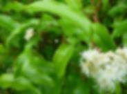 aniseed-myrtle-Australian-bush-food