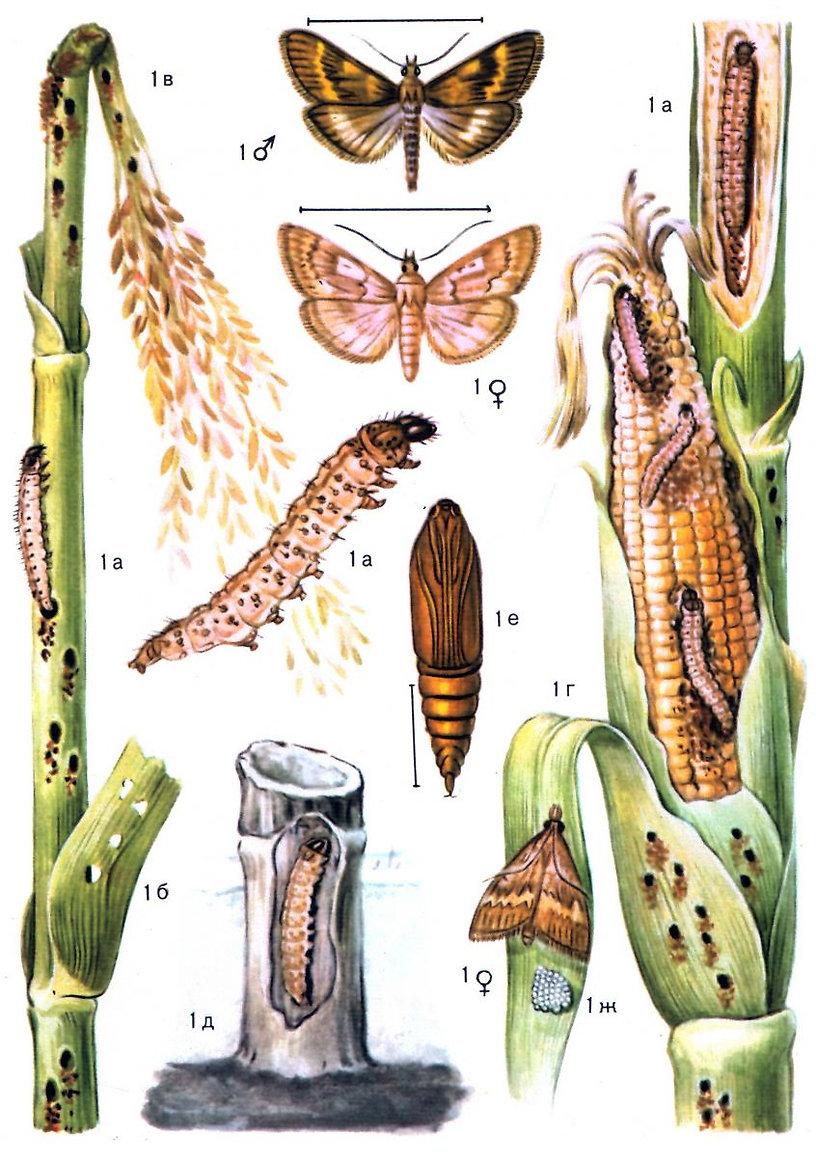 кукурузний метелик, біозахист