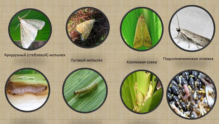Вредители, кукурузний мтелик, луговий метелик, совка