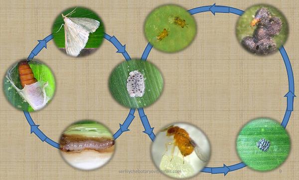 фази метеликів, циклтрихограми