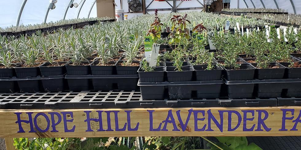 Hope Hill Lavender Farm, August 7, 2021
