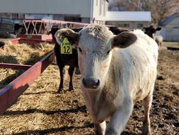 White Charlois cow w at Saint Ann's Cattle Company with a  tag #12
