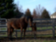 A dam Standardbred at Lindwood Stable with her newborn foal
