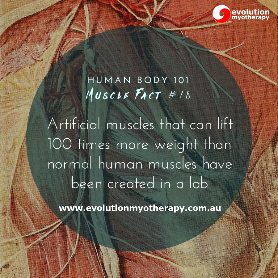 Human Body 101: Muscle Facts #18