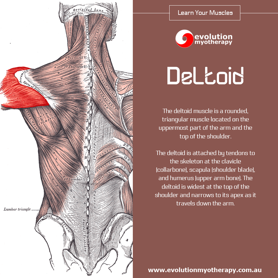 Learn Your Muscles Deltoids