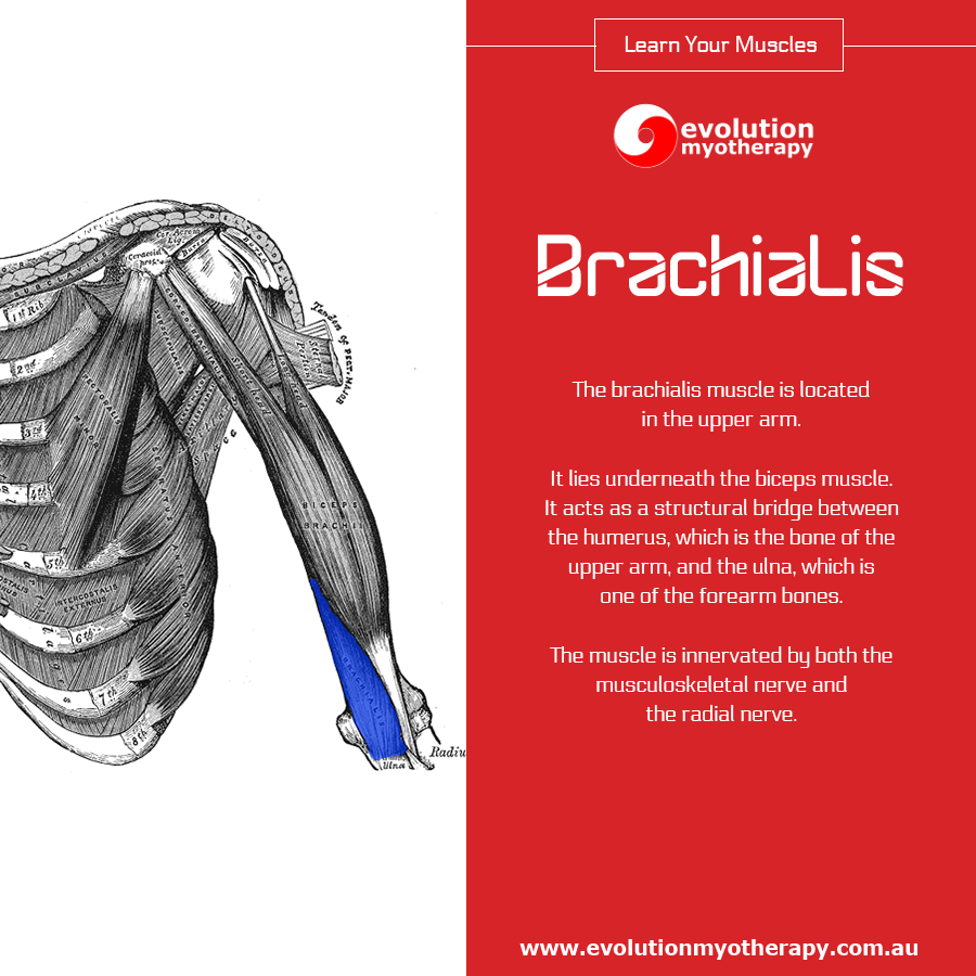 Learn Your Muscles: Brachialis