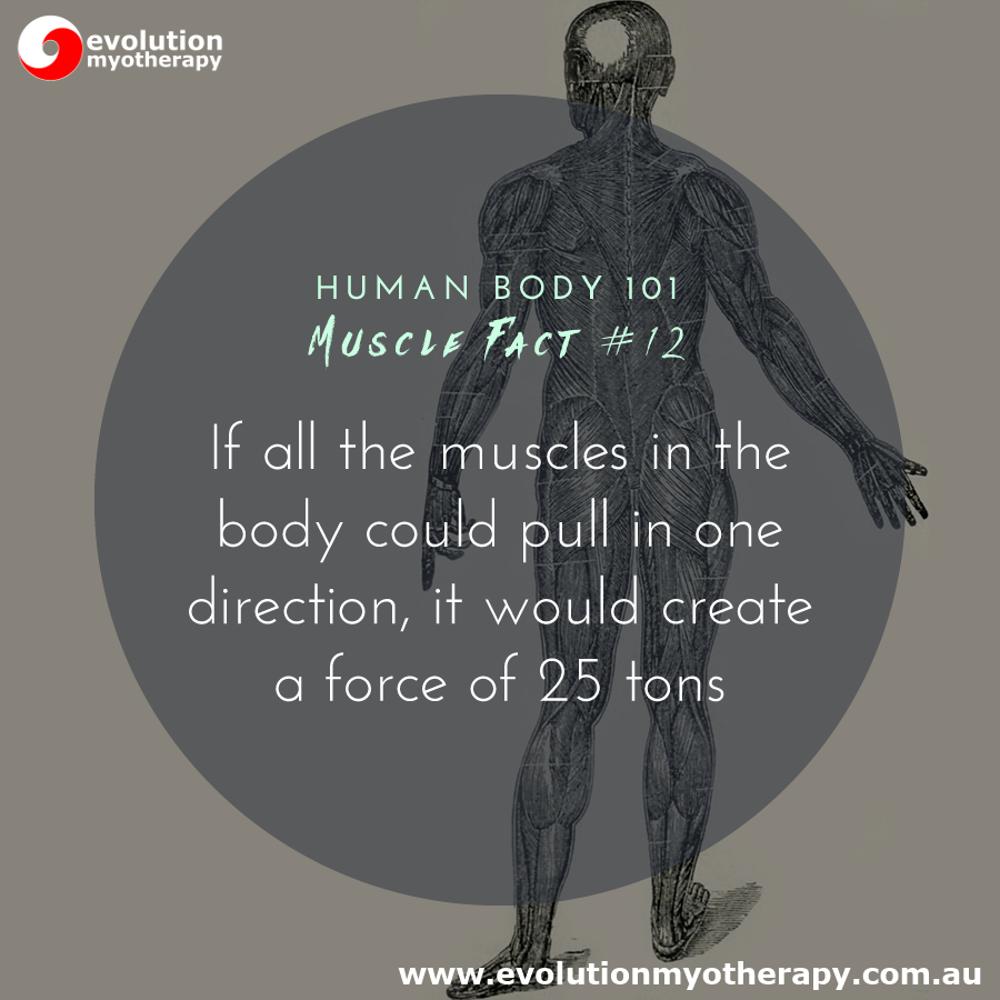 Human Body 101: Muscle Facts #12