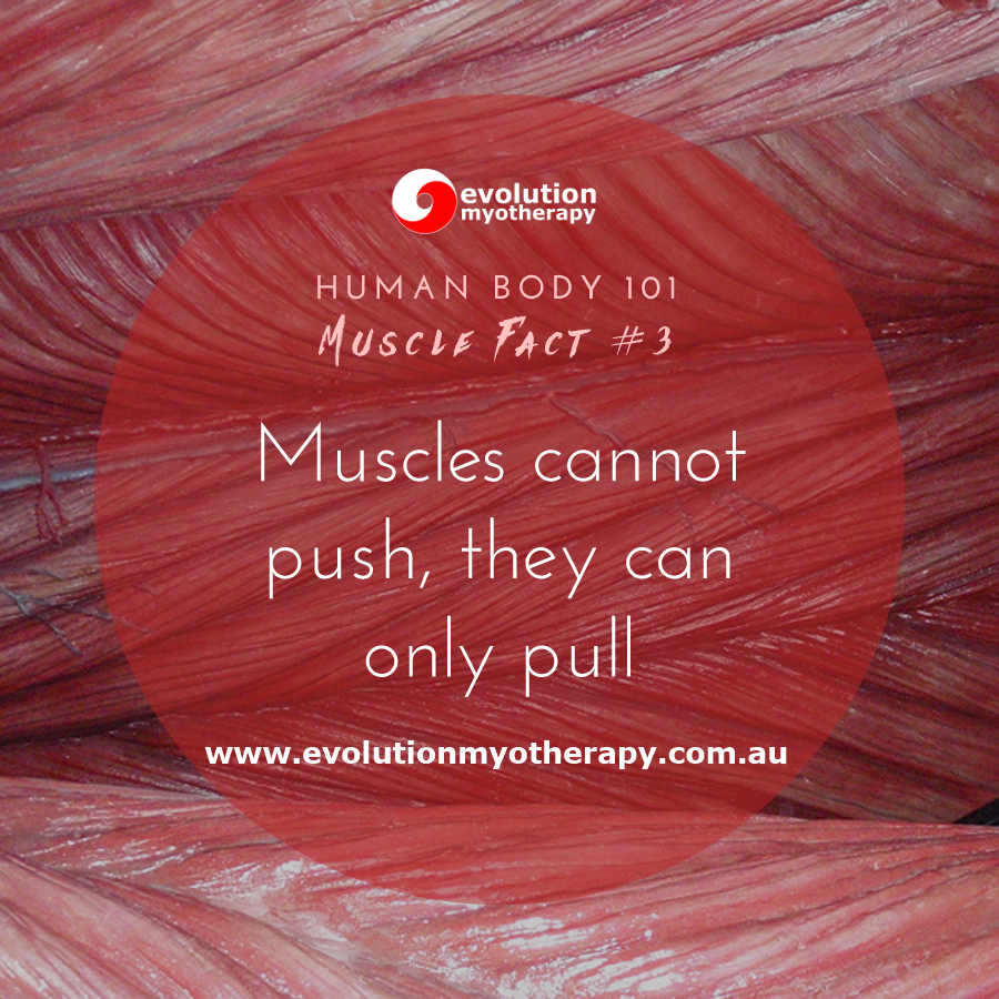 Human Body 101: Muscle Facts #3