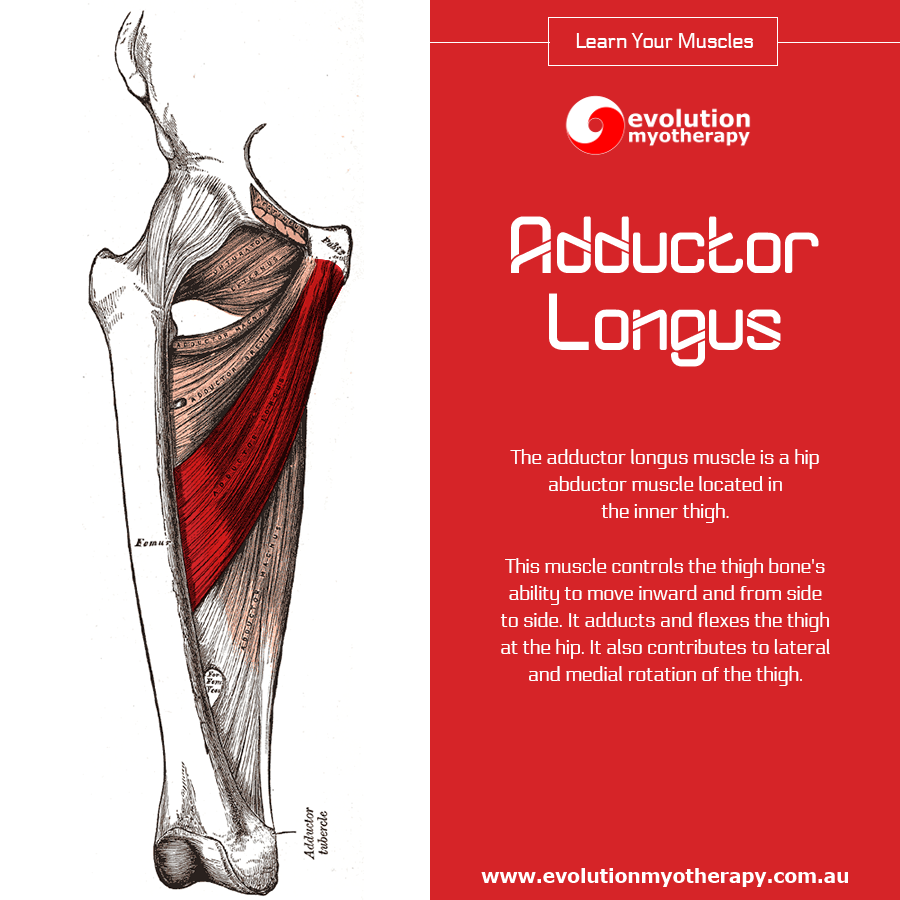 Learn Your Muscles: Adductor Longus