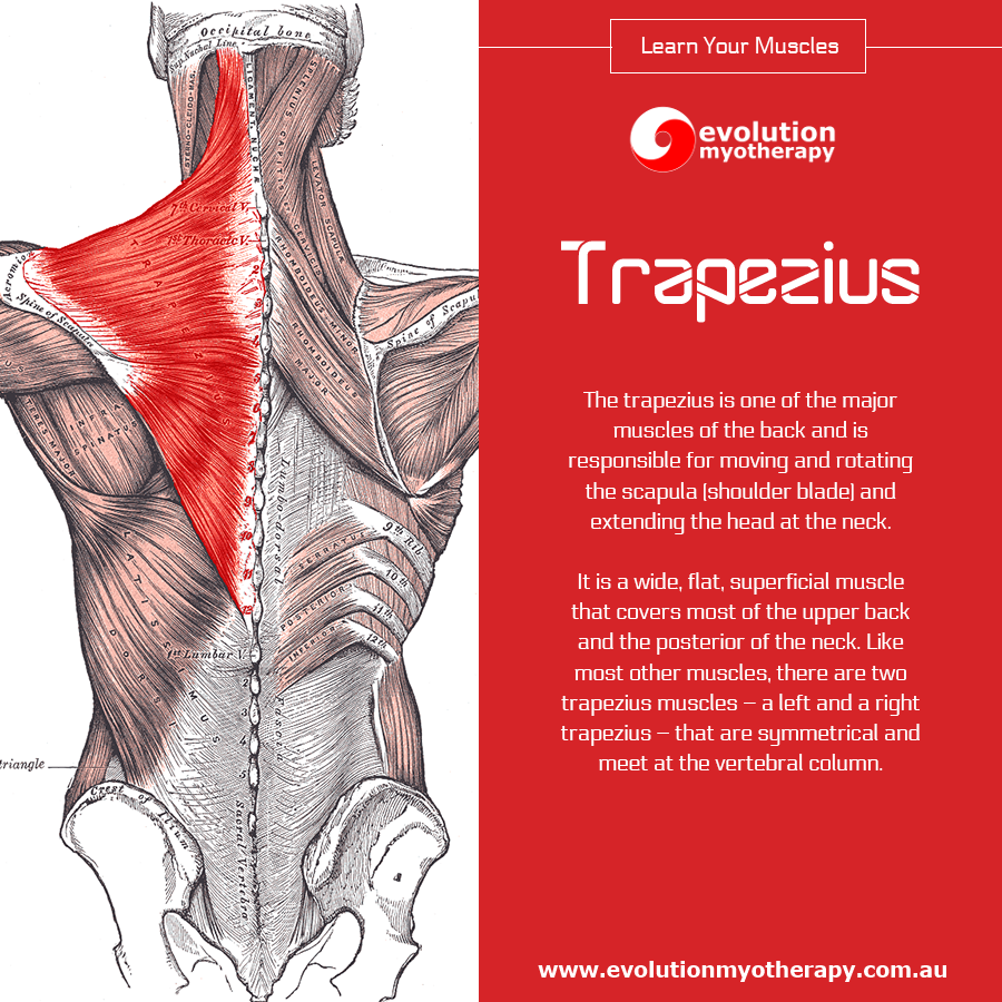 Learn Your Muscles: Trapezius