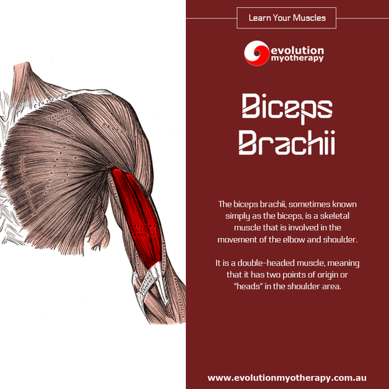 Learn Your Muscles: Biceps Brachii