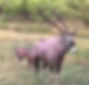 gemsbok.PNG