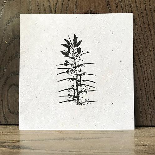 Impression végétale - Ulex - Ajonc