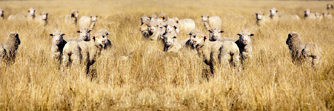 Soil Bank Sheep
