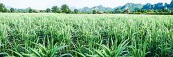 Soil Bank Sugar Cane