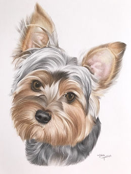 Yorkie Drawing