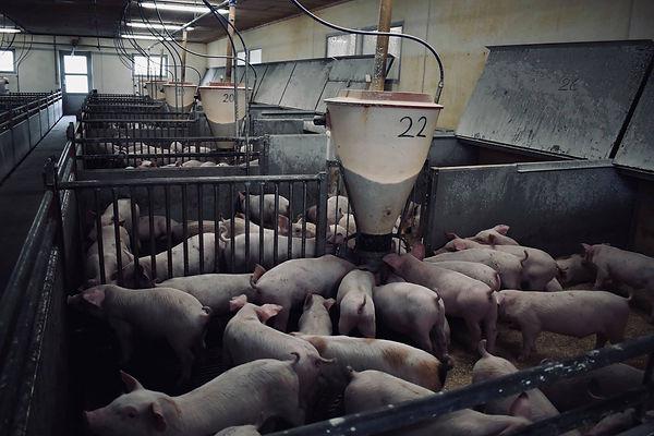 veganisme, veganer, vegansk, dyr, landbrug, danmark