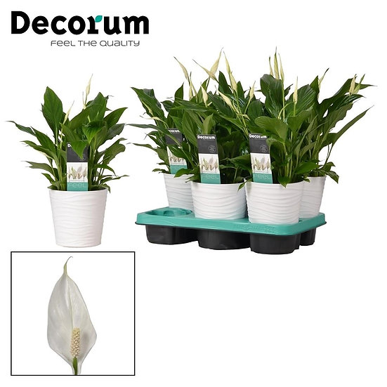 Peace Lily & Decorative Pot