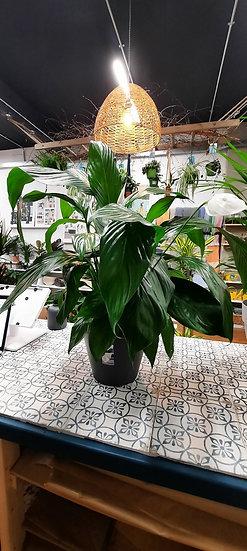 Peace Lily 60cm