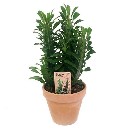 Euphorbia trigona green