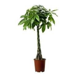Money Tree 150cm