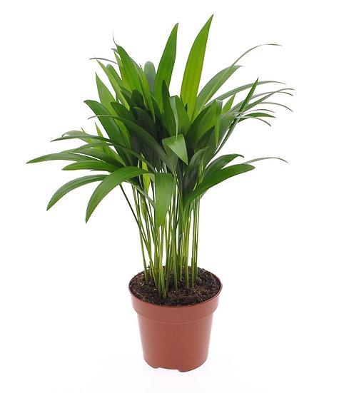 Areca Palm 40cm