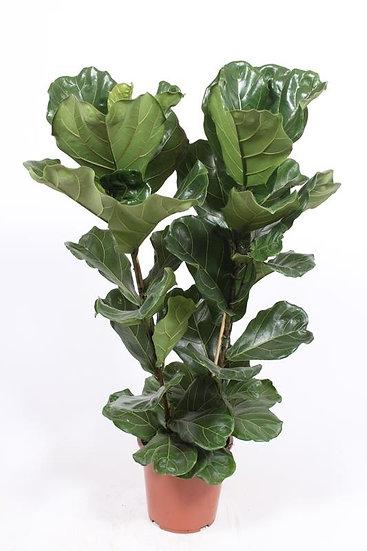 Ficus Lyrata 2 Stem