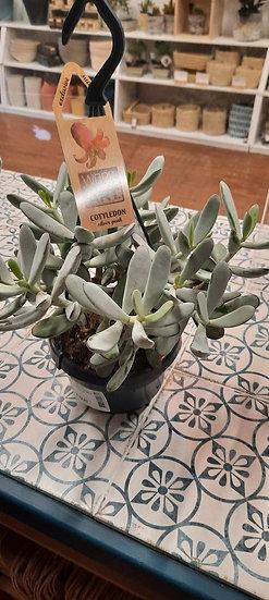 MoonStone Succulent