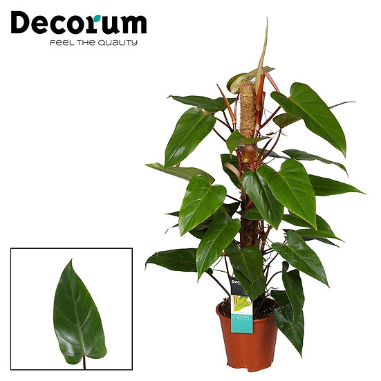 Philodendron Red Emerald 80 cm mosspole