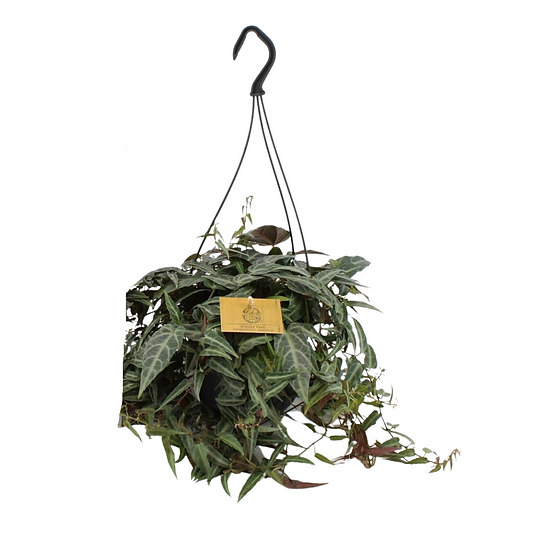 Parthenocissus Amazonica hanging pot