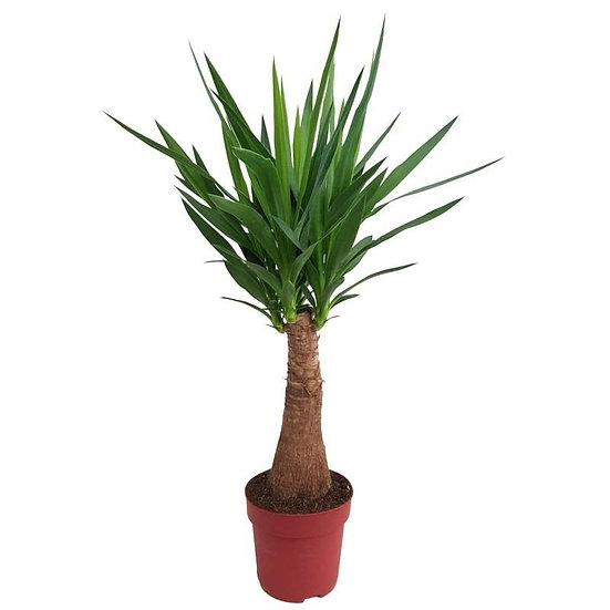 Yucca 110cm 3+ head