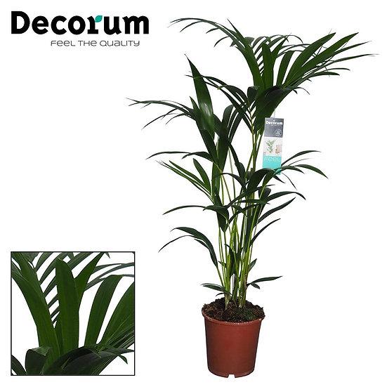 Kentia Palm