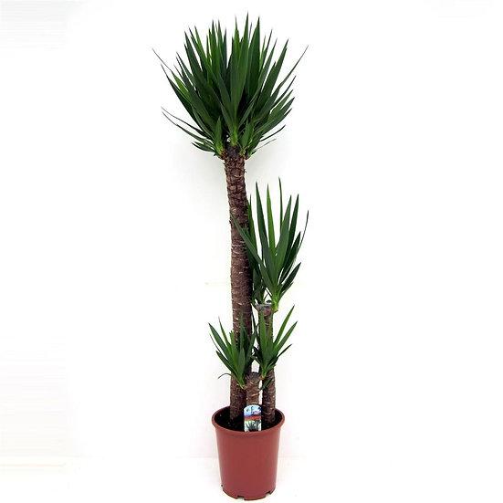 Yucca 120-60-30 cm 3+ head