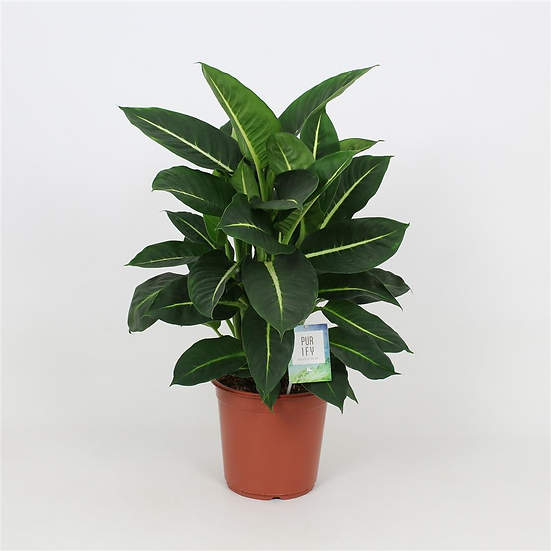 Dieffenbachia Green Magic