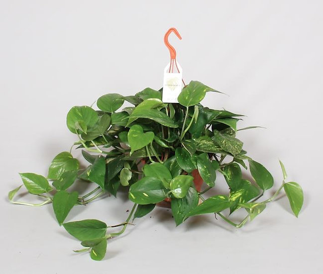 Devils Ivy Hanging