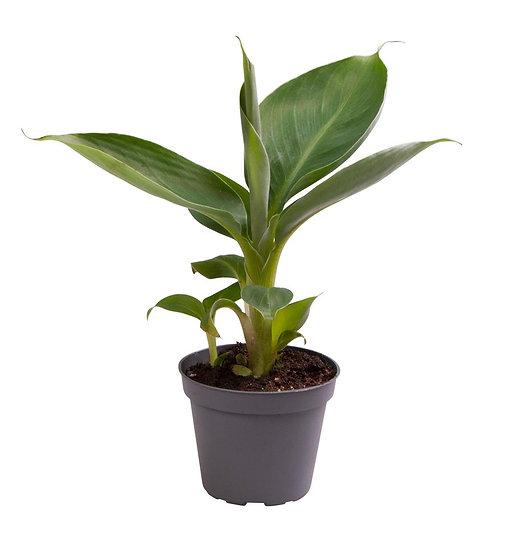 Musa Cheeka (Drawf Banana Plant)