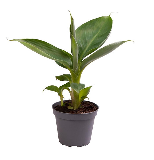 Musa Tropicana 35cm ( Banana Plant)