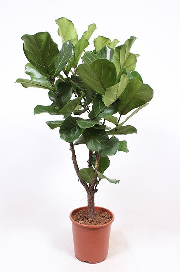 Ficus Lyra Branched 110cm Tall