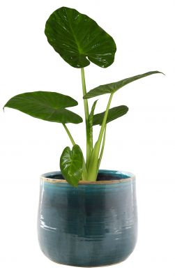 Pot Iris Turquoise