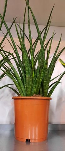 Mother-in-law's tongue Sansevieria 'Fernwood Mikado'