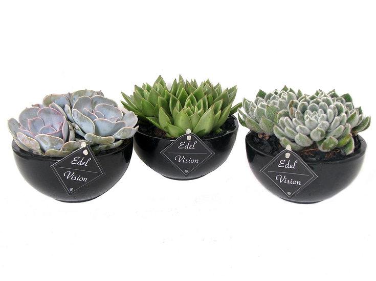 Echeveria/ Succulent ceramic black