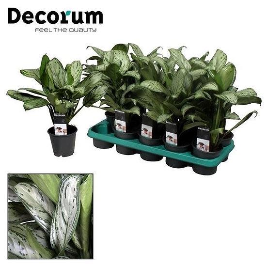 Aglaonema Green (Chinese Evergreen