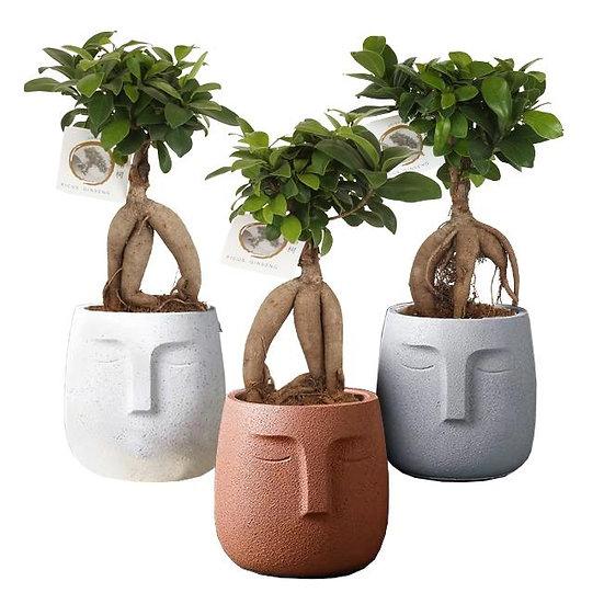 Ficus Ginseng Ball Zen Character