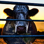 cowspiracy_cow.jpg