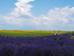 ラベンダーとひまわり畑