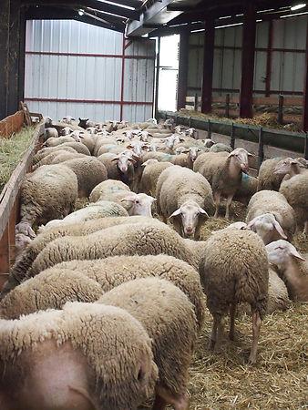 mouton1.jpg
