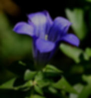 gentian1.jpg